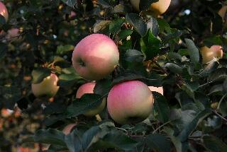 apple200709_016.jpg