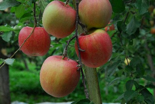 apple200709_021.jpg