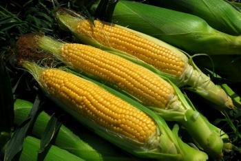 corn_01.jpg