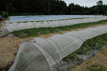 トンネル栽培(早期収穫)