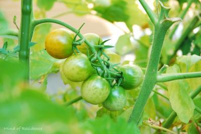 070811_tomato.jpg