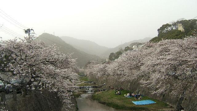 山芦屋の桜風景