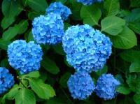 6/16 泉の森の紫陽花