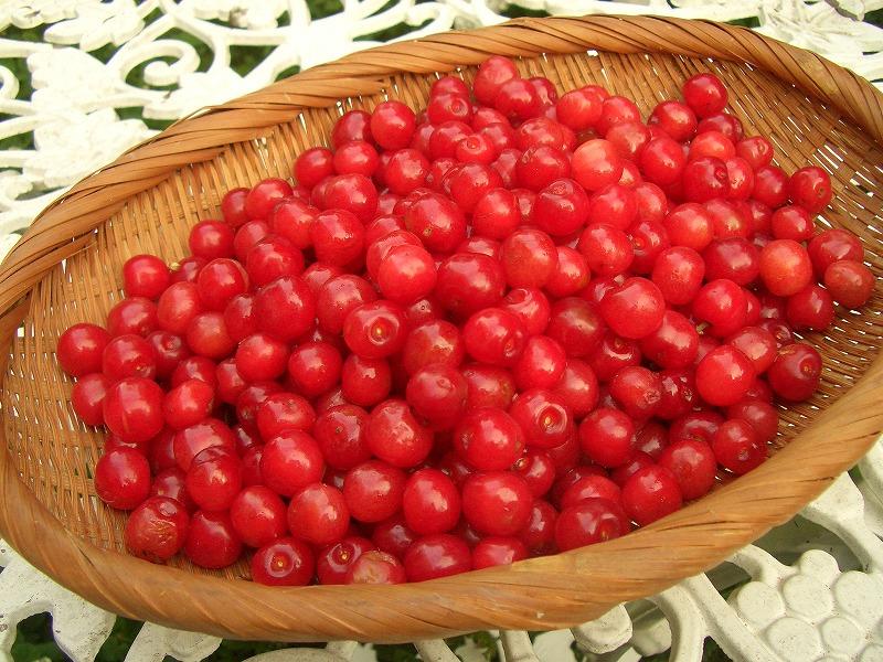 ■今年のさくらんぼ やっと収穫 【2006年5月27日】
